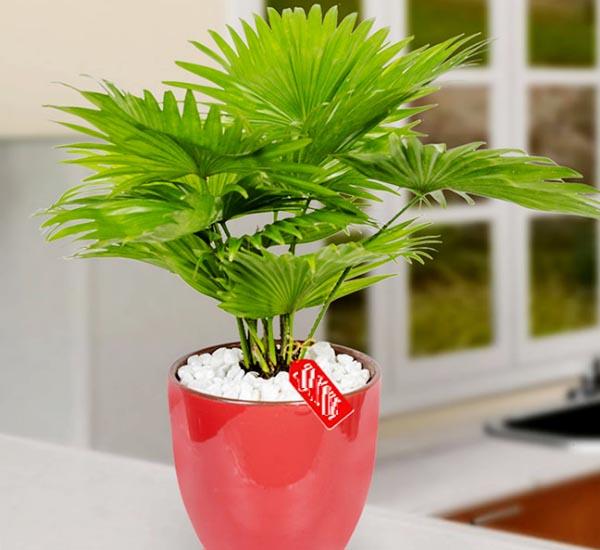 Cây cọ cảnh là loại cây phong thủy trong phòng khách đang được yêu thích - Nadu Furniture