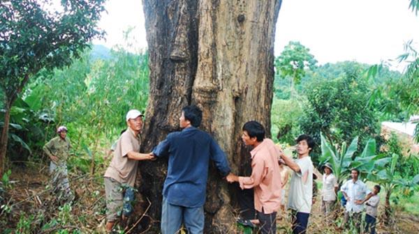 Cây gỗ hương cổ thụ đang được người dân bảo vệ