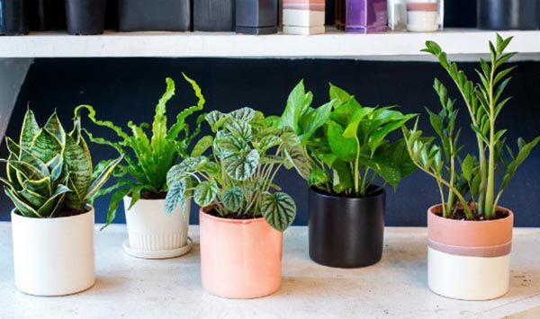 Cần tìm hiểu tập tính và cách chăm sóc khi mua các cây phong thủy trong nhà
