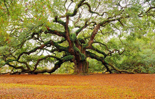 Gỗ sồi là gì - Ứng dụng của gỗ sồi trong đời sống và lĩnh vực nội thất