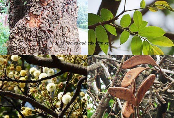 Thân - lá - hoa và quả của cây gỗ cẩm xe