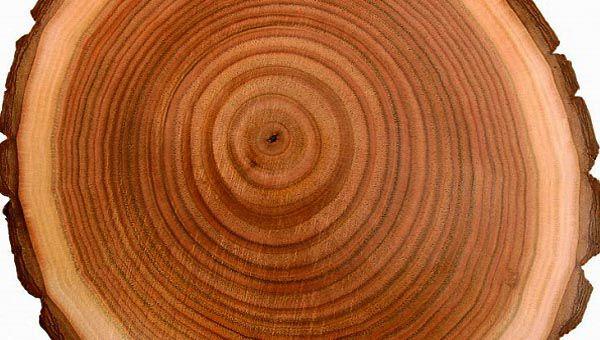 Vân gỗ mặt cắt ngang tức là cắt vuông góc với thân cây